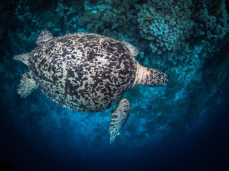 żółw - Red Sea